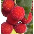 Koca Yemiş (çilek ağacı) Fidanı (Üretim Aşamasında)
